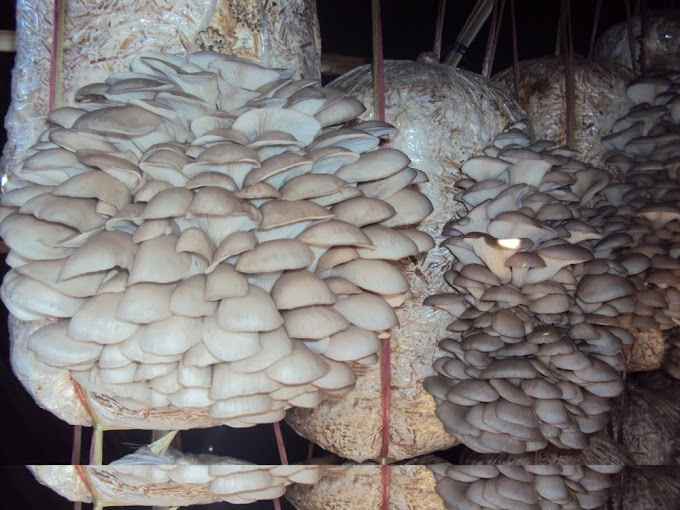 How To Start Mushroom Farming In Kenya