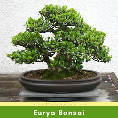 Eurya Bonsai