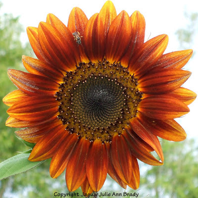 A bee on a pretty Autumn Beauty sunflower petal