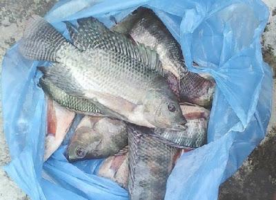 umpan ikan mujair air payau,cara memancing ikan mujair dengan umpan cacing,umpan jitu ikan mujair besar,umpan mujair liar,umpan ikan mujair di empang.