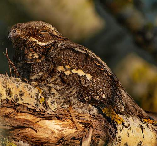 Birds of India -Image of European nightjar - Caprimulgus europaeus