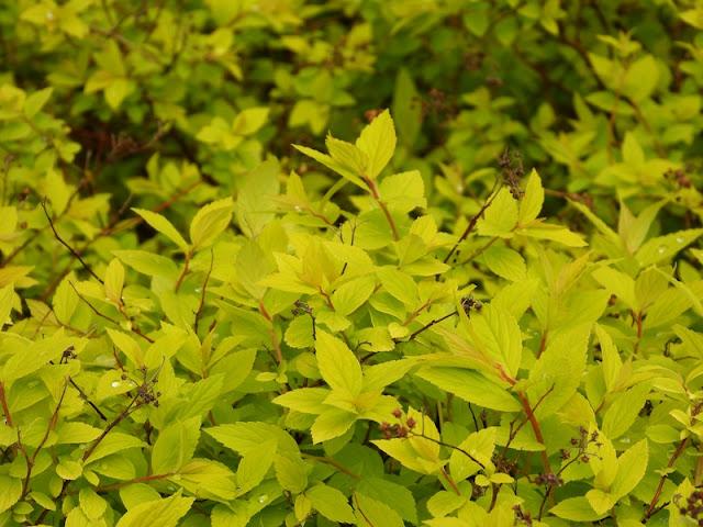 Lite udda färg på en buske.