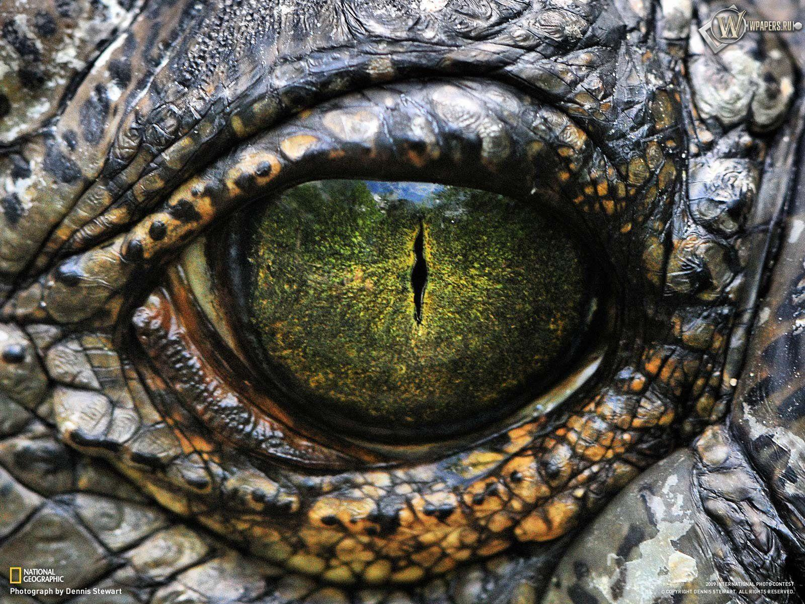 Alligator eye wallpapers, animal wallpapers