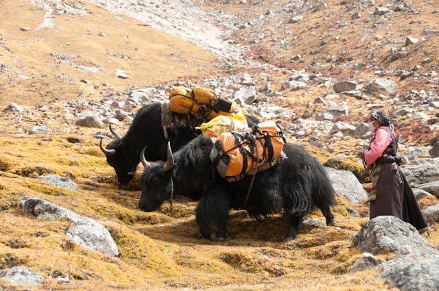 """Tinh tế trong văn hóa uống trà là thế, nhưng có một sự thật chắc chắn sẽ khiến bạn bất ngờ, đó là ở Tây Tạng rất khó để trồng được trà vì thời tiết khắc nghiệt. Vì vậy mà đại đa số trà ở đây đều được nhập về từ nơi khác thông qua """"Tea Horse Road"""". Đây là con đường vô cùng xa xôi và khắc nghiệt của những tay buôn mang trà ngon đến với Tây Tạng để đổi lấy ngựa tốt.    Theo đó, những tay buôn này sẽ cùng đoàn ngựa, hoặc đoàn la của mình, mang trà vượt qua một trong hai tuyến đường cam go để đến với Tây Tạng. Một tuyến bắt đầu từ Ya'an ở tỉnh Sichuang, tới Tây Tạng ngang qua Luding, Kangding, Batang rồi xuôi Nepan tới Ấn Độ (3.100 km). Tuyến kia bắt đầu từ Pu-er ở tỉnh Yunnan tới Tây Tạng bằng cách đi qua Dali, Lijang, Shangri-La, Deqin… và kéo dài qua Myanmar, Nepan và Ấn Độ (3.800km)."""