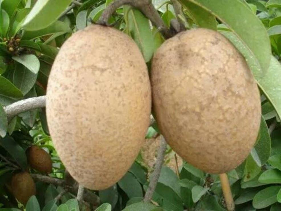 Promo 500 biji benih bibit sawo manila super manis Nusa Tenggara Timur