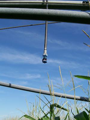 best time stop irrigating season corn minnesota