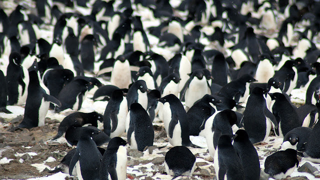Previously unknown 'supercolony' of Adélie penguins discovered in Antarctica