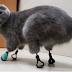 Η γάτα που έχασε τα πόδια της από τον πάγο μπορεί και περπατάει ξανά