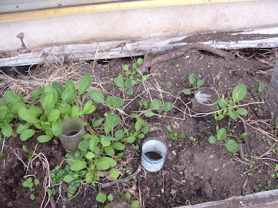 Photo of a raised bed with young arugula plants and plastic bottle waterers