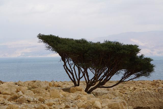 עץ השיטה  בים המלח
