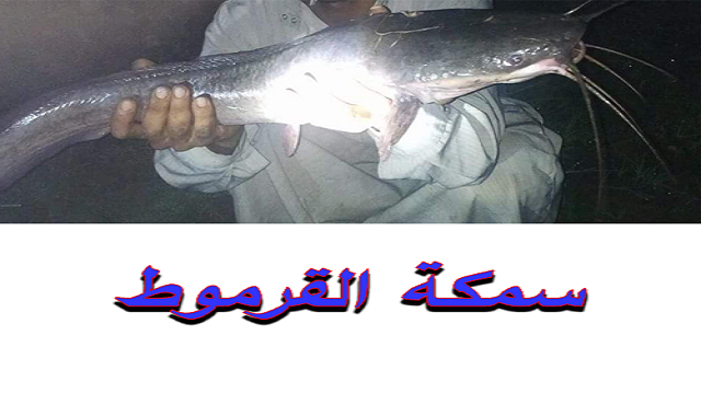 صيد سمكة القرموط بالانشون