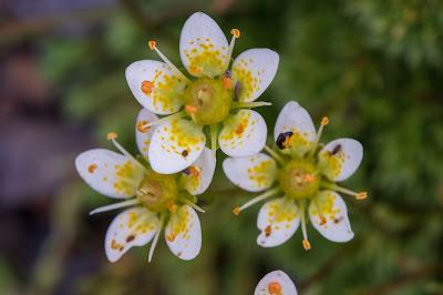 [Saxifragaceae] Saxifraga byroides – Mossy Saxifrage (Sassifraga briode)
