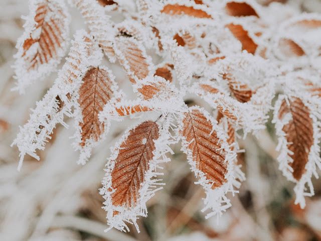 Hoar Frost Formation on the Leaves of the Plant.