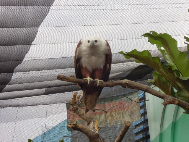 A hawk at the Birds of Prey Kingdom at Manila Ocean Park