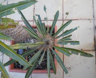efecto del granizao sobre los cactus