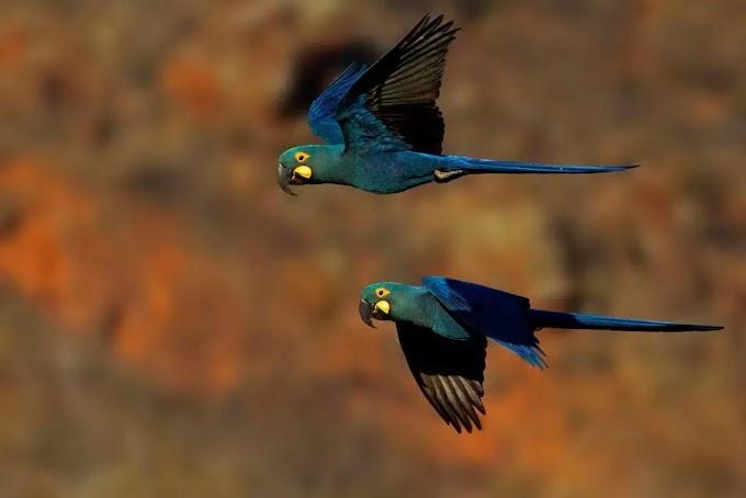 Aves sob risco de extinção 'ressurgem' das cinzas em obra sobre conservação