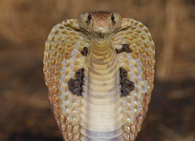 Mimpi ular tedung