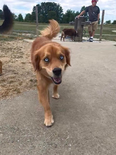 Golden retriever australian shepherd mix Temperament, Size, Lifespan, Adoption, Price
