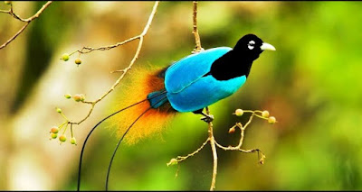 cenderawasih biru,jenis-jenis burung cenderawasih,bertelur atas awan