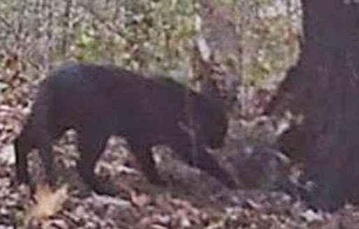 Big Cat Sightings In Perry County Ohio