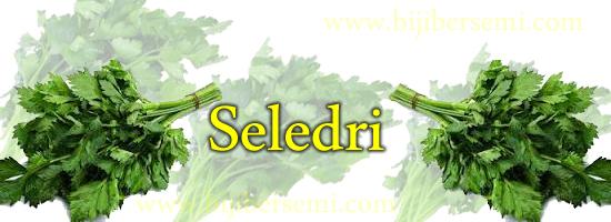 seledri, daun seledri, menanam seledri, menanam seledri di polybag