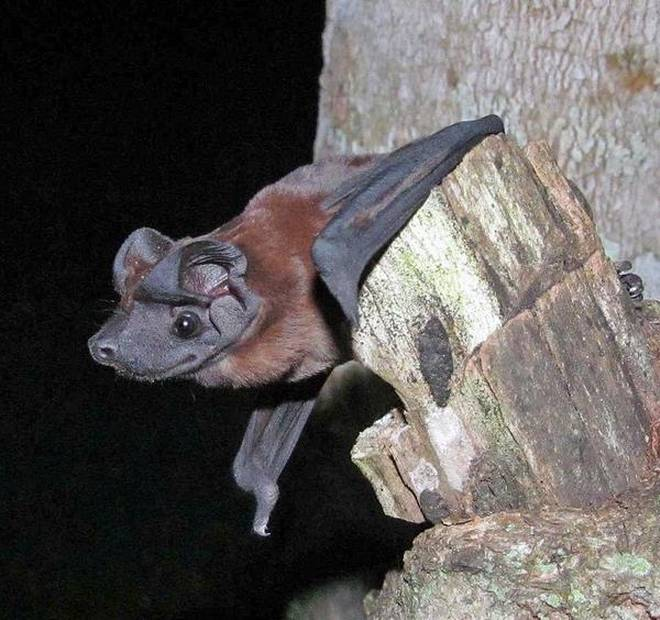 Dog Faced Bat
