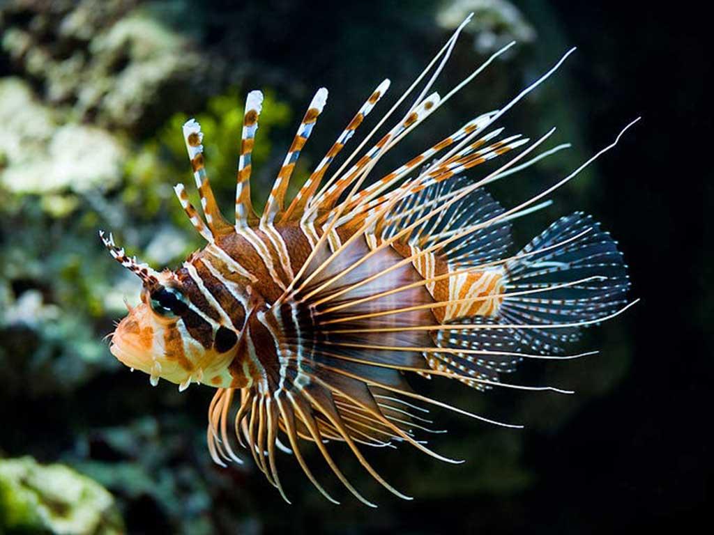 Antenli Aslan Balığı Hakkında Bilgi