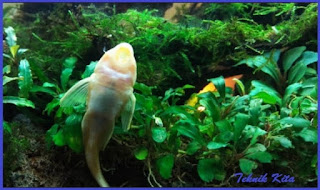 Manfaat ikan sapu sapu albino