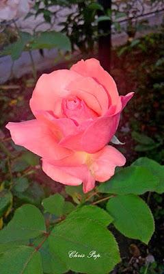 Ενα ρόζ ομορφο τριαντάφυλλο