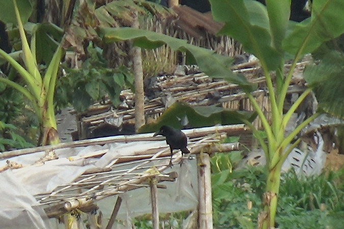 Dlium Slender-billed crow (Corvus enca)