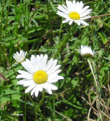 ox-eye daisy, Leucanthemum vulgar
