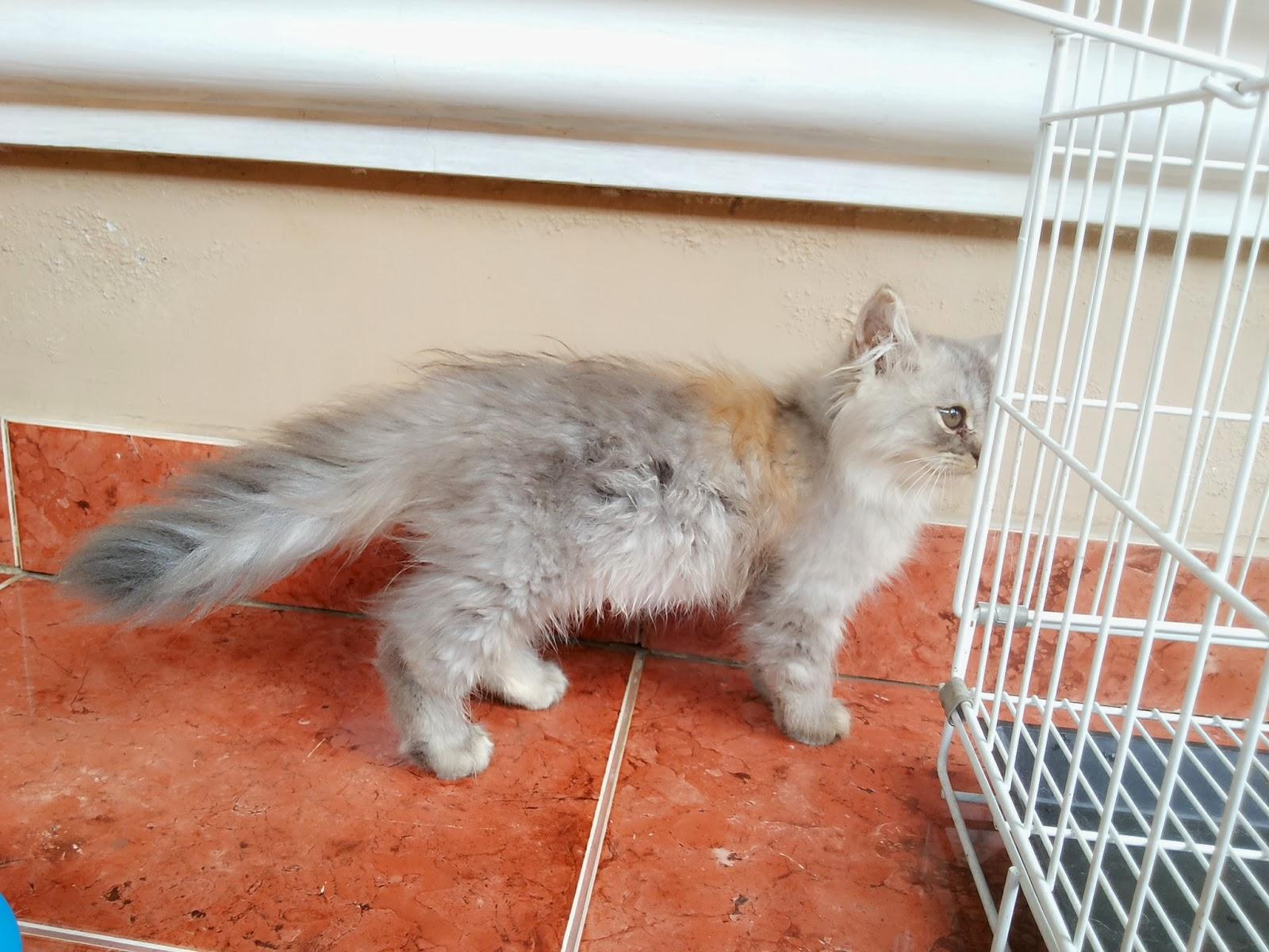Kucing Persia Jambi Flauschige Katzen