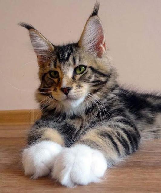 É a raça de gato considerada a maior de todas entre os gatos domésticos.   Seu tamanho avantajado e sua docilidade deram-lhe o apelido de gigante gentil. Além do tamanho, ele se destaca por ter tufos de pelos nas orelhas que lhe dão a aparência de um lince e uma cauda semelhante a de guaxinim.