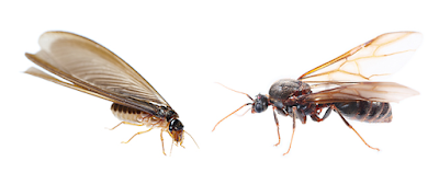 Flying ants vs Termites Pictures, Size, Identification