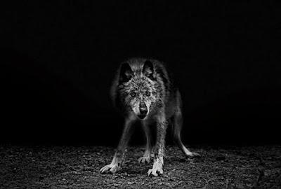 قصّة الذّئب والمالك الحزين
