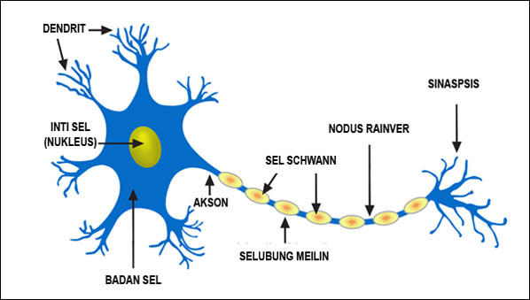 Bagian-bagian sel saraf (neuron) - Jaringan Saraf