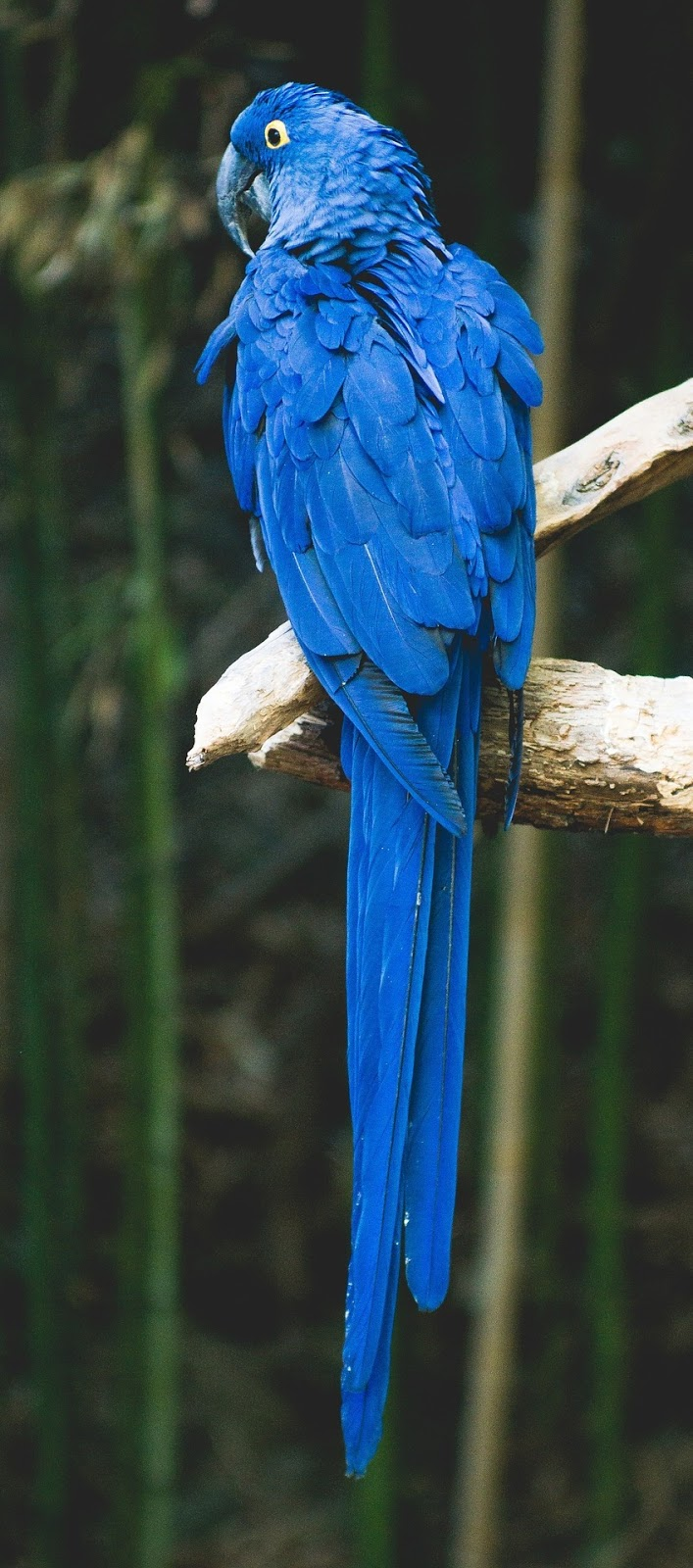Picture of a blue parrot.