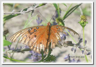 Gulf Fritillary butterfly (Agraulis vanillae) with damaged broken wings