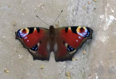 wildlife, butterfly,