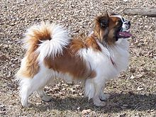 Red and white Tibetan Spaniel Dog