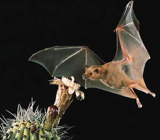 a close up of a Lesser Long-nosed Bat on a black background approaching a white cactus blossom.