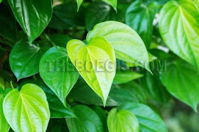 Benefits of betel leaf benefit for body health