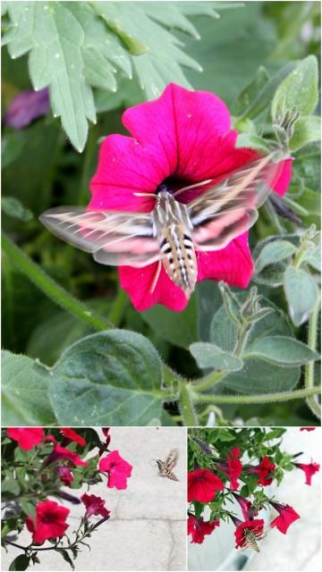 hummingbird moth photos