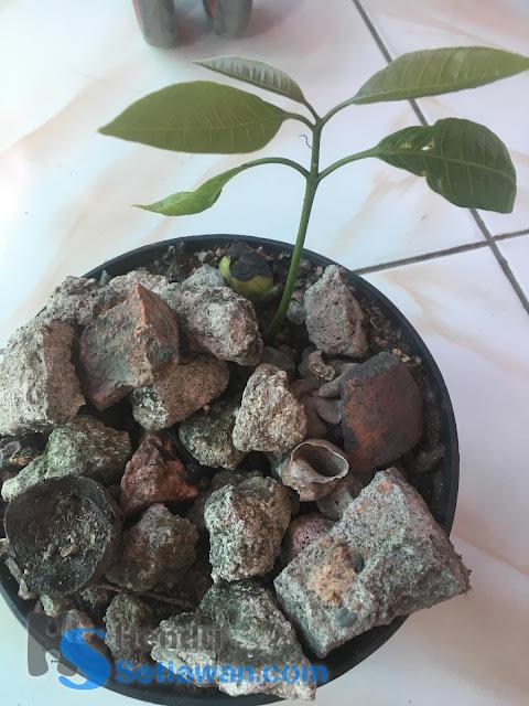 Cara Sambung Pucuk Pohon Mangga yang Masih Kecil | Grafting