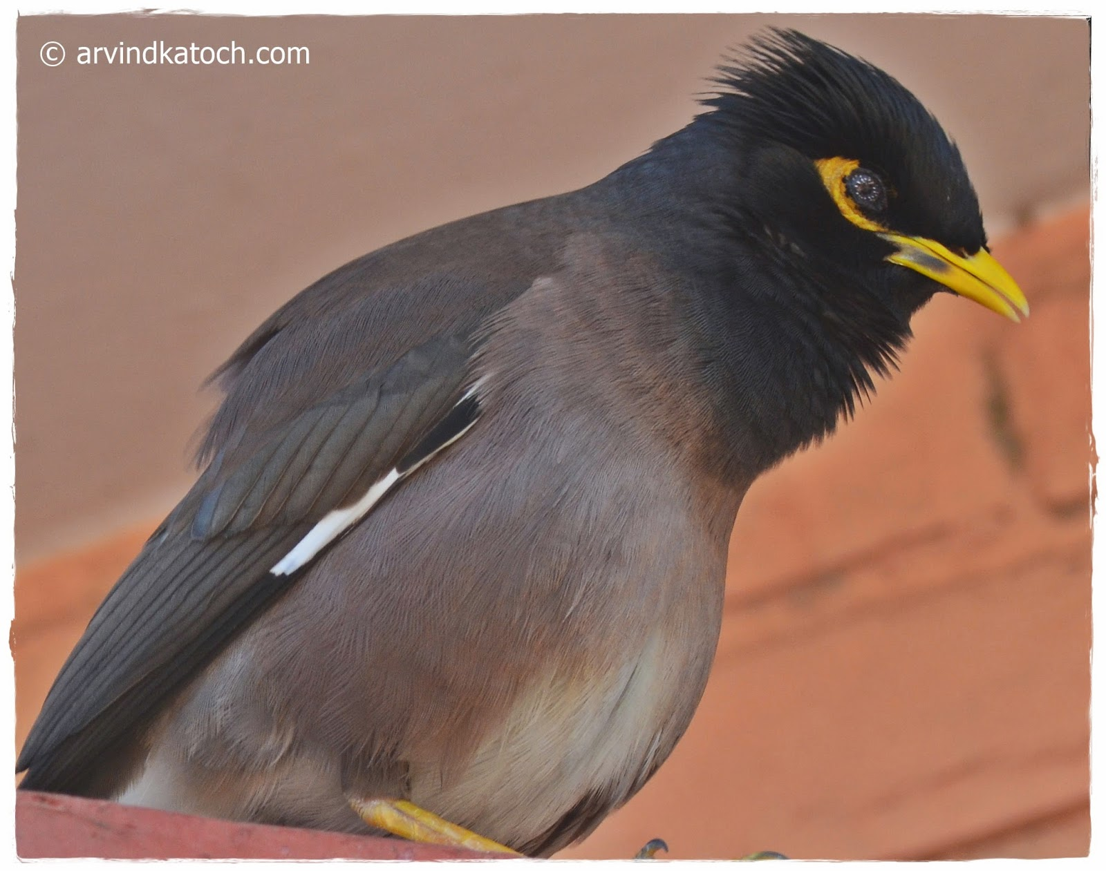 Common Myna, Close Up