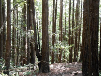 woods, redwoods, forest, lost, spiritually lost, spiritual nature, nature