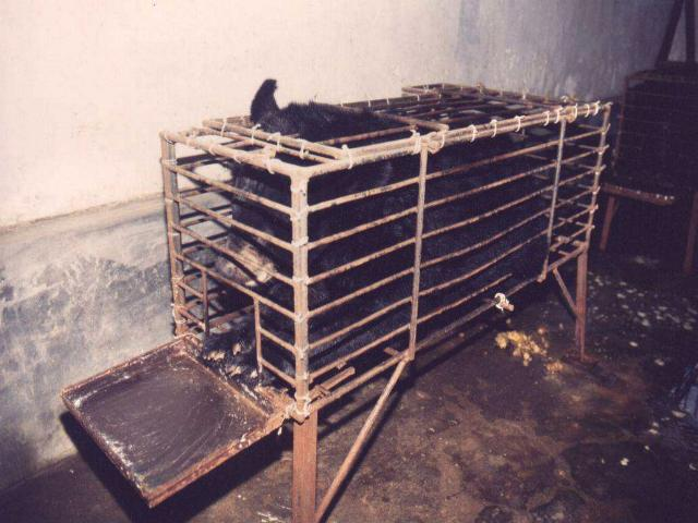 żółć niedźwiedzia medycyna chińska