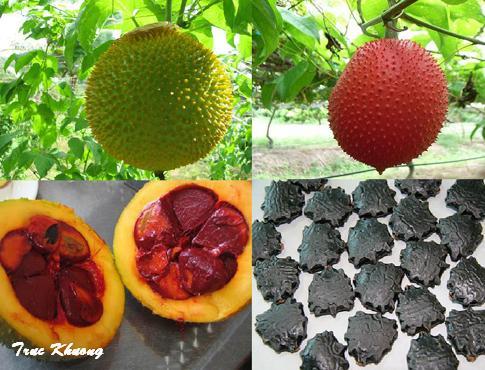 Bài thuốc Nam trị bệnh từ các sản phẩm của cây gấc