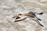 Willet in flight – Grayton State Park, FL – Mar. 28, 2018 – Roberta Palmer
