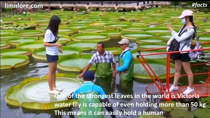 victoria water lily can hold a human facts